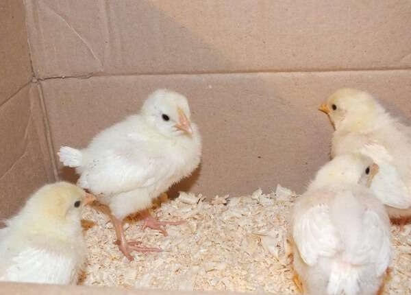 Суточные цыплята Леггорн.