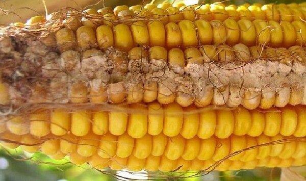 Кукуруза поражена фузариотоксинами и микотоксинами.