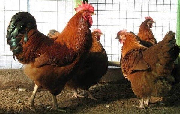 Нью Гемпшир порода кур.