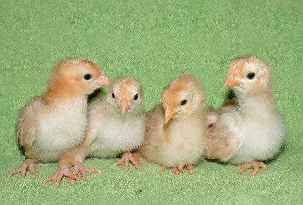 Нью Гемпшир цыплята.