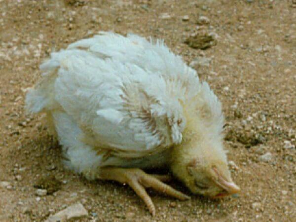 Ньюкаслская болезнь цыплят.