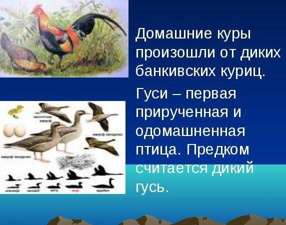 Одомашнивание диких кур и гусей.