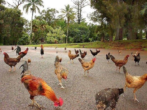 Одомашнивание диких кур в Индии.