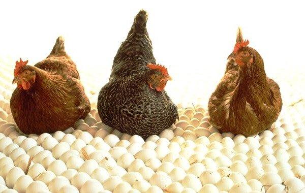 Органическое птицеводство – понятие и отличие.
