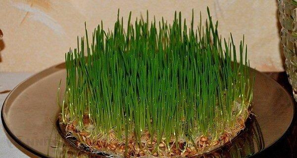 Пророщенная пшеница.