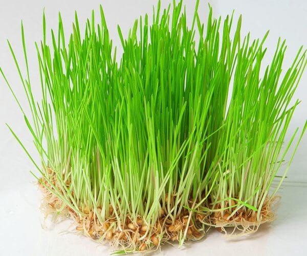 Зеленые ростки пророщенной пшеницы.