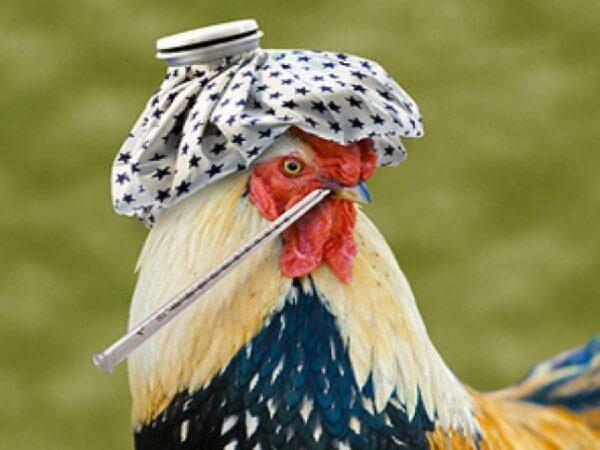 Птичий грипп у петухов и кур.