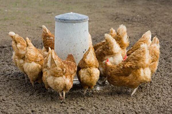 Как кормить кур несушек в домашних условиях?