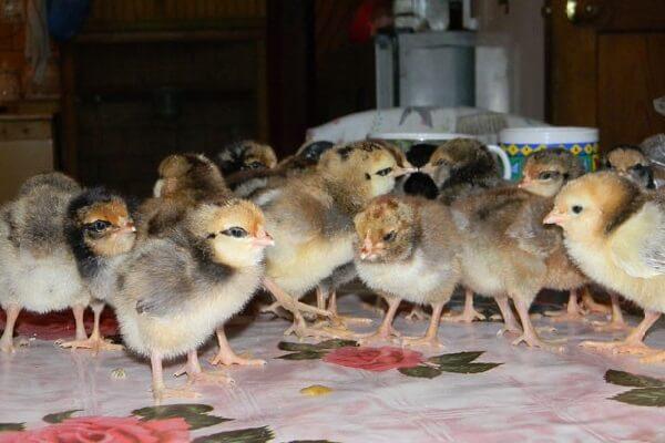 Кормление молодняка птицы с первой недели жизни.