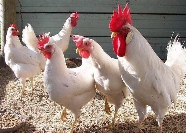 Лучшие яичные породы кур для домашнего разведения: хайсекс уайт.