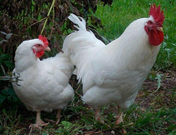 Яичные породы кур несушек – Белая Русская.