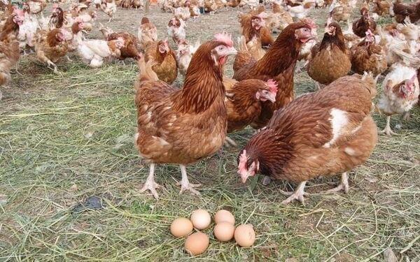 Яйценоские породы кур и самые лучшие несушки фото.