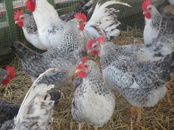 Борковская Барвистая порода кур – описание, фото и видео.