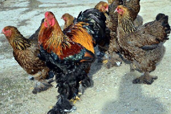 Брама порода кур – описание, фото и видео.