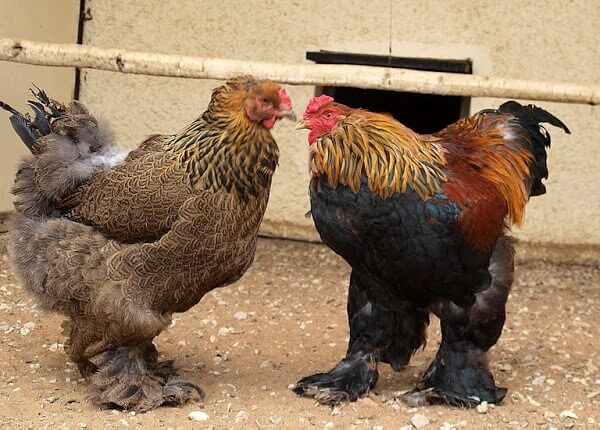 Курица и петух породы Брама.