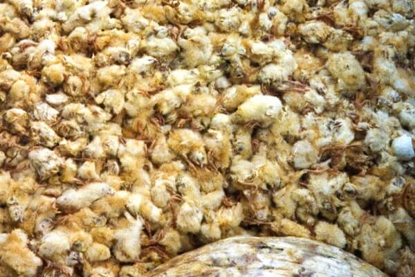 Почему суточных петушков убивают на птицефабриках и крупных фермах?