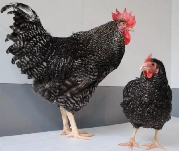 Доминант порода кур – описание, фото и видео.