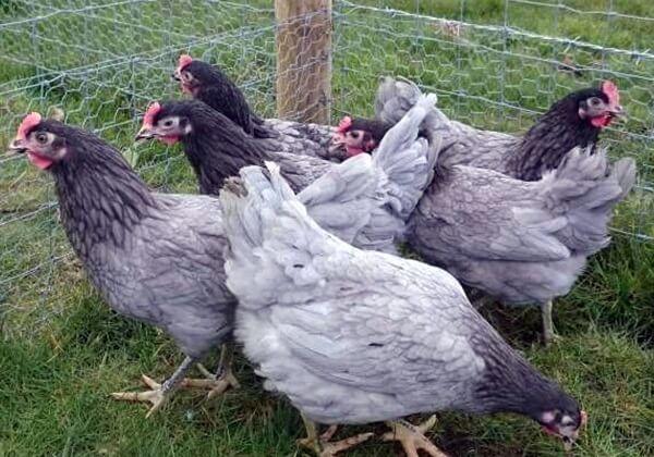 Породы голубых кур несушек с описанием, фото и видео.