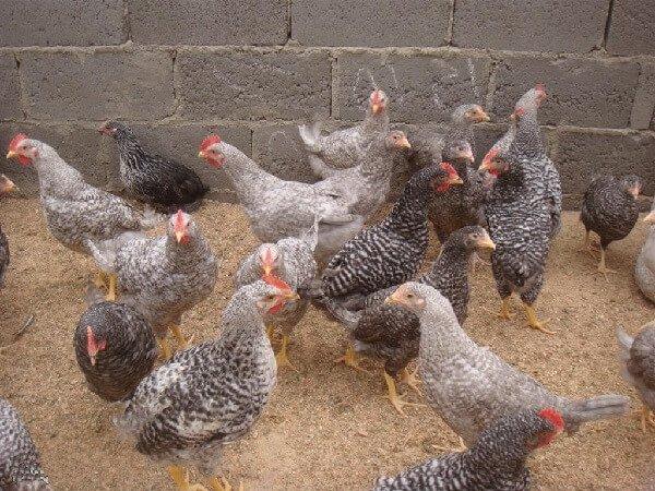 Подрощенные цыплята Киргизской серой породы.