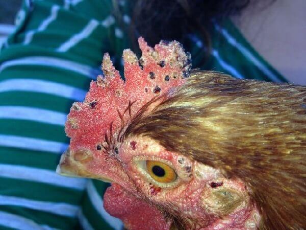 Клещи у кур как выглядят? Симптомы дерманиссиоза и лечение.