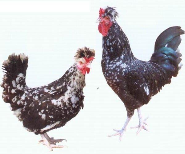 Курица и петух Королевкой породы.