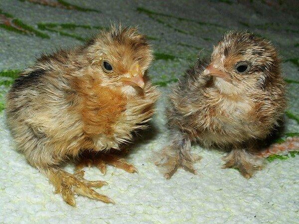 Кучерявые цыплята фото.