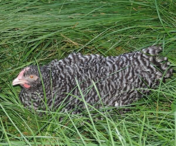 Мехеленская Кукушка порода кур описание с фото.