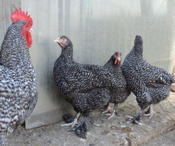 Мехеленская порода кур несушек куку де Малин.