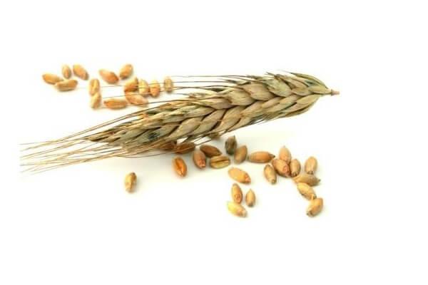 Пшеница поражена микотоксинами.