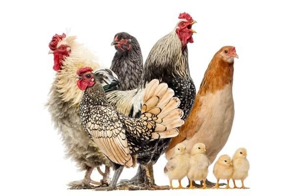 Разведение птицы в домашних условиях на даче или в саду - куры.