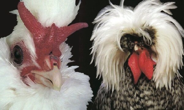 Брабантский петух и курица.