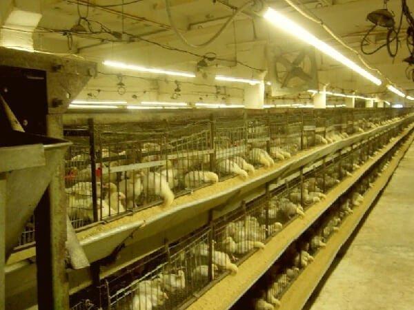 Прерывистый световой режим для цыплят кур несушек.