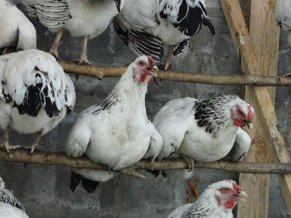 Первомайская порода кур в курятнике на насесте.