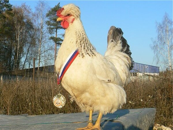 Русская хохлатая порода кур – описание, фото и видео.