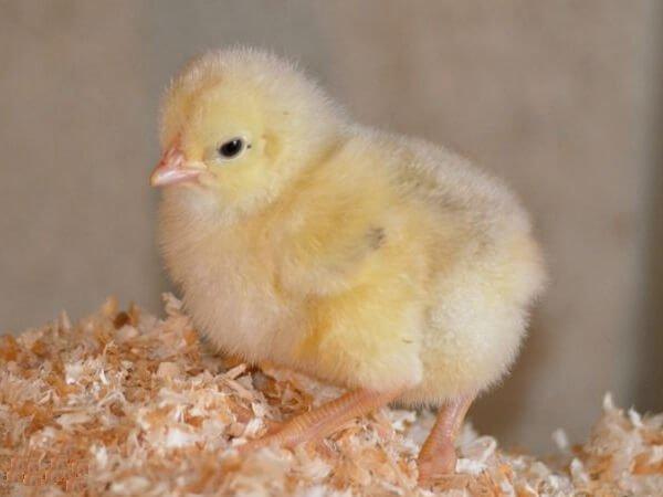 Цыпленок породы Сассо.