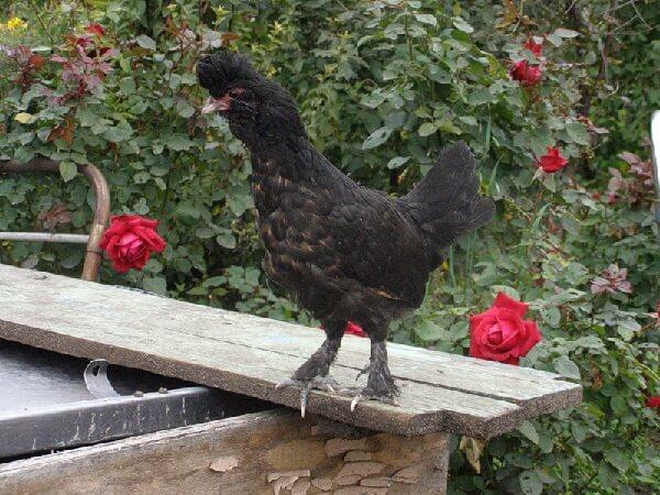 Сибирская порода кур – описание Мохноножки, фото и видео.