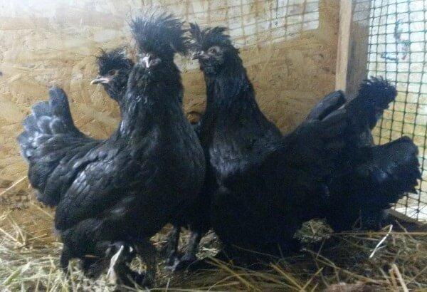 Черная Сибирская порода кур Мохноножка.