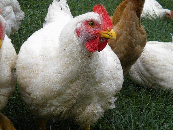 Курица Корниш.
