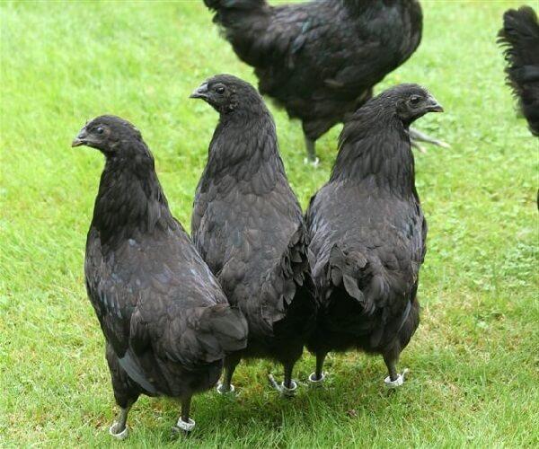 Старосельская порода кур – описание несушки и фото.
