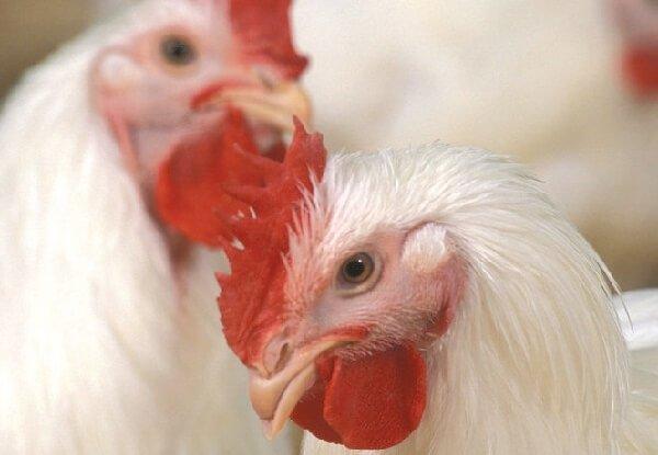 Как содержать кур правильно и получать много яиц?
