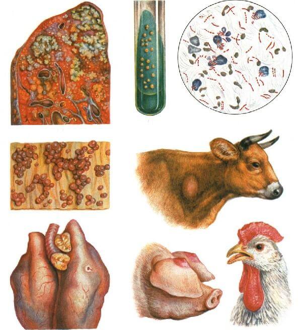 Туберкулез в животноводстве и птицеводстве.