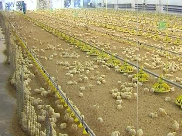 Выращивание бройлерных цыплят на птицефабрике.