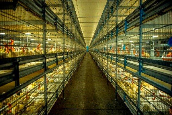 Выращивание бройлеров на птицефабрике.