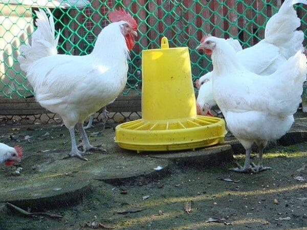 Петух и курица Бресс Гальской породы.