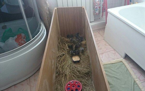 Как оборудовать брудер для цыплят в домашних условиях.
