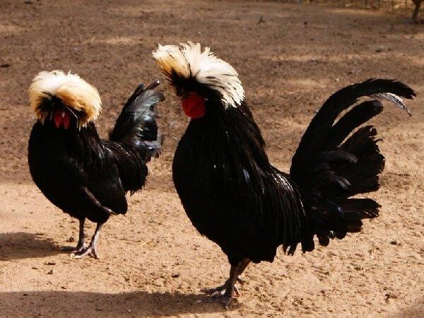 Петух и курица породы Голландская Белохохлая.