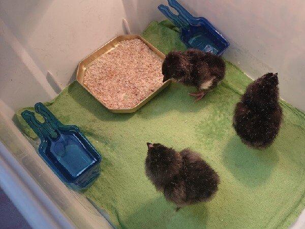 Суточные цыплята Арауканы.