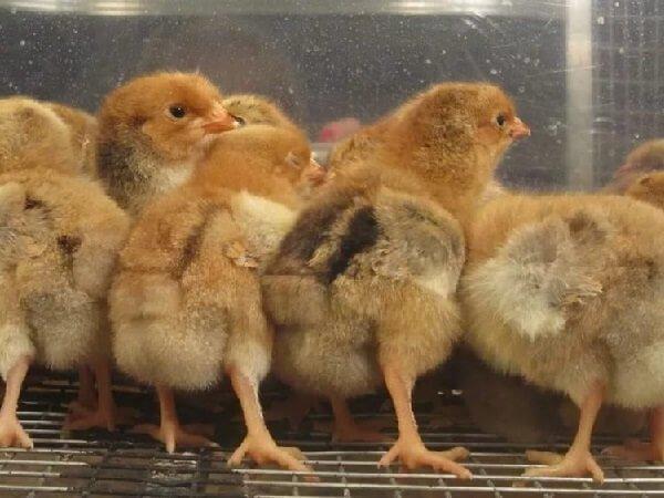 Цыплята Кучинской Юбилейной породы кур.