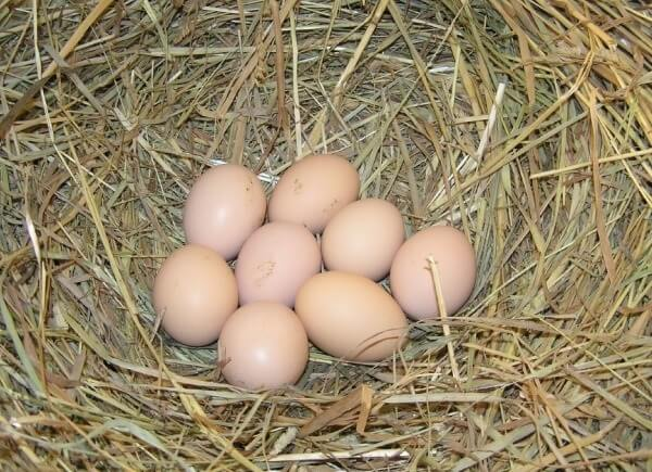 Яйца кучинских кур.