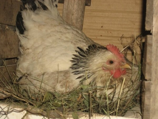 Курица наседка в гнезде.